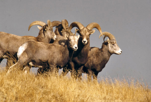 Bighorn sheep count up 8 percent in western N.D. Badlands